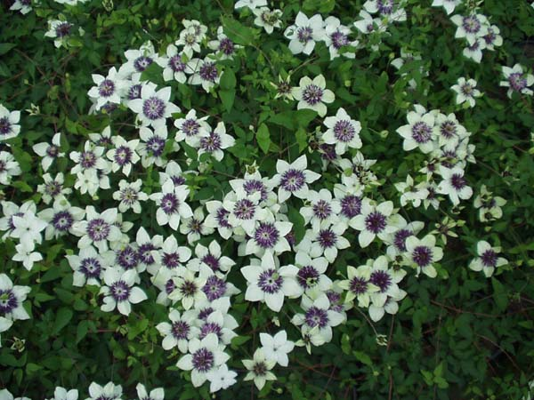 2016 48 for Clematis florida