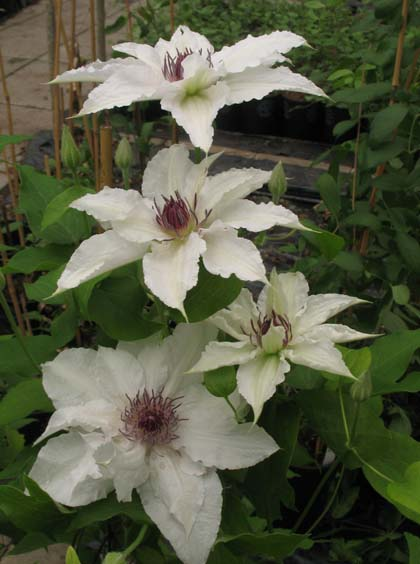 1000 images about clematis on pinterest clematis texensis clematis vine and clematis flower. Black Bedroom Furniture Sets. Home Design Ideas