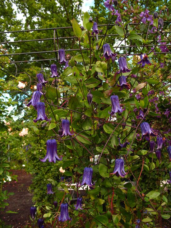 clematis integrifolia rooguchi bing images. Black Bedroom Furniture Sets. Home Design Ideas
